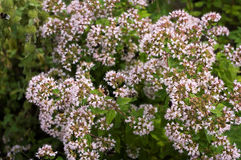 Oregano herb Stock Photos