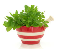 Oregano Herb Stock Image
