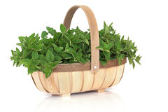 Oregano Herb Basket. Oregano herb leaf sprigs in a rustic wooden basket, isolated over white background. Origanum royalty free stock photos