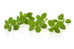 Oregano Herb Leaves. Oregano herb fresh leaf sprigs isolated over white background. Origanum royalty free stock image