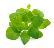 Oregano herb leaves spices Royalty Free Stock Photo