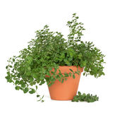 Oregano Herb Plant Stock Photo