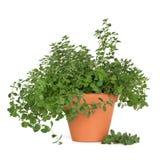 Oregano Herb Plant stock photo