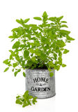Oregano Herb Plant. Oregano herb growing in an old metal plant pot with home and garden title over white background stock images