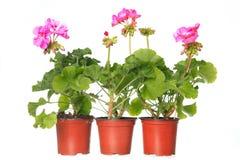 Oregano herb plant growing in the  pot Stock Photos