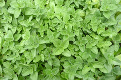 Oregano herb plant leaves in garden Stock Image