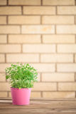 Oregano herb plant. Royalty Free Stock Photos