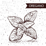 Oregano herb and spice label. Engraving illustrations for tags. Royalty Free Stock Photos