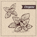 Oregano herb and spice label. Engraving illustrations for tags. Stock Images
