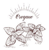Oregano herb and spice label. Engraving illustrations for tags. Royalty Free Stock Images