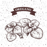 Oregano. Herb and spice label. Engraving illustrations for tags. Vector sketches of vegan food. Stock Image