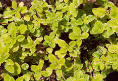 Oregano Herb Stock Photography