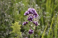 Oregano herbal plant flowers close up in a meadow in summer day stock images