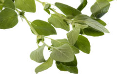Oregano Herbs Isolated Royalty Free Stock Photos