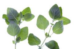 Oregano Herbs Isolated Royalty Free Stock Image
