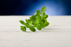 Oregano highlighted by spot light Stock Image
