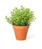 Oregano In A Clay Pot Royalty Free Stock Photos