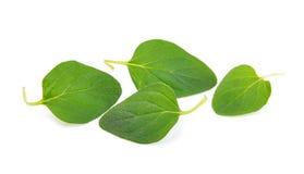 Oregano leaf. On white background Royalty Free Stock Photography