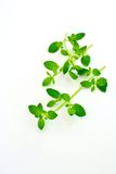 Oregano leaves. Fresh oregano leaves  on white background Royalty Free Stock Photography