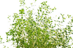 Oregano leaves Royalty Free Stock Photo