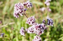 Oregano or marjoram - medicinal herb Stock Photos