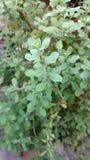 Oregano or origanum marjoram royalty free stock image