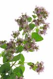Oregano (Origanum vulgare) Stock Photography
