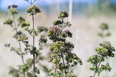 Oregano (Origanum vulgare). Wild oregano in ancient Pharos field in Hvar isand- Croatia Stock Photography