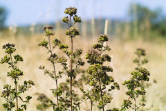 Oregano (Origanum vulgare). Wild oregano in ancient Pharos field in Hvar isand- Croatia Stock Photo