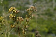 Oregano (Origanum vulgare). Wild Oregano plant(Origanum vulgare royalty free stock images