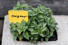 Oregano & x28;Origanum vulgare& x29; bush stock photo