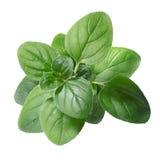 Oregano (Origanum vulgare) leaves Stock Images