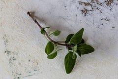 Oregano & x28; Origanum vulgare& x29; liście Obrazy Stock