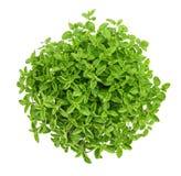 Oregano origanum vulgare. Oregano plants isolated on white background Royalty Free Stock Images