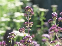 Oregano Origanum vulgare with pink flowers. Aromatic herb Oregano Origanum vulgare growing and blooming with pink blossoms in a summer garden stock image