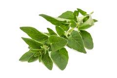 Oregano - origanum vulgare. A sprig of oregano - origanum vulgare stock photography