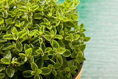Oregano Plant Stock Photo