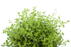 Oregano plant Royalty Free Stock Images