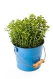 Oregano plant. In vase isolated on white Royalty Free Stock Photo