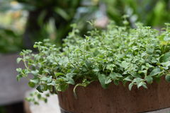 Oregano plant for background Stock Photography