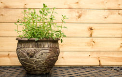 Oregano Plant in Decorative Clay Pot Royalty Free Stock Photo