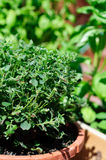 Oregano Plant in Florida Sun stock photography