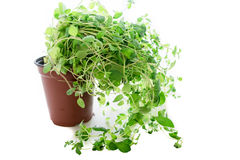 Oregano plant Royalty Free Stock Photography