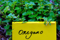 Oregano plant Royalty Free Stock Photos