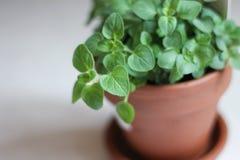 Oregano Plant in Pot Royalty Free Stock Image