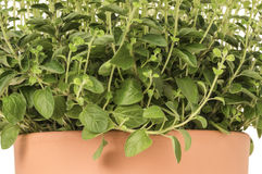 Oregano in plant pot Royalty Free Stock Photos