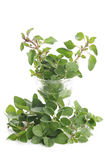 Oregano plant Stock Photo