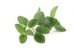 Oregano plant on white background Royalty Free Stock Photography