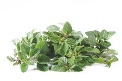 Oregano plant Stock Image