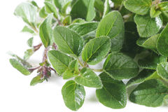 Oregano plant on white Royalty Free Stock Photography